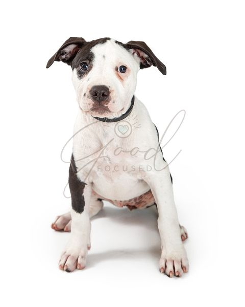 Young Pit Bull Terrier Puppy Sitting