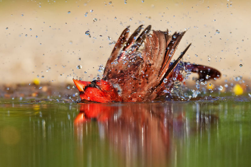 Northern Cardinal Bathing