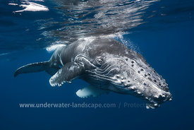 Close up of Humpback Whale