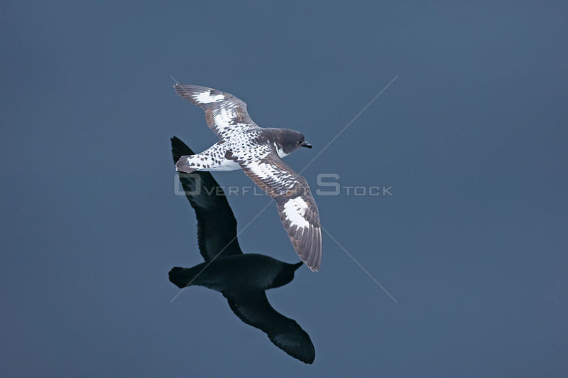Cape / Pintado petrel (Daption capense) in flight low over water, Southern Ocean off Chile, November