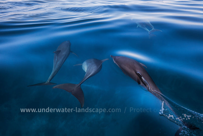 Dolphins over the surface - Moheli - Comoros