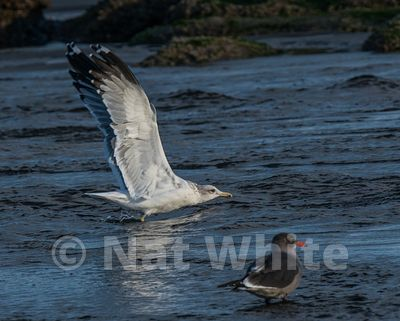 Olympic_NP-seagull-_October_02_2016_Nat_White