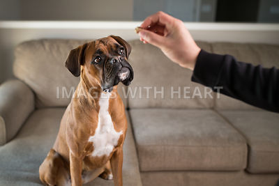 red boxer dog getting a treat for sitting