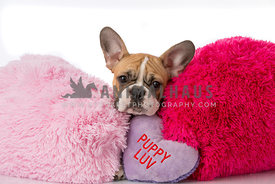 French Bulldog Puppy  with squishy face laying on puppy luv pillow