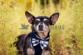 Chihuahua with bow tie in greenery