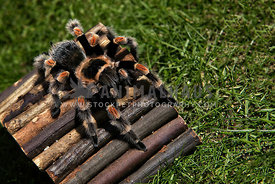 tarantula climbing over wooden hideout in garden