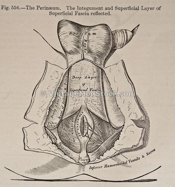 vintagemedstock | male perineum perineum diagram