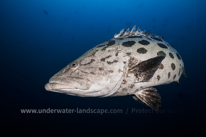 Potato grouper - Mozambique