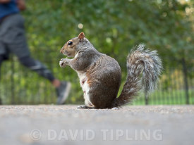 Grey Squirrel  Sciurus carolinensis in London Park