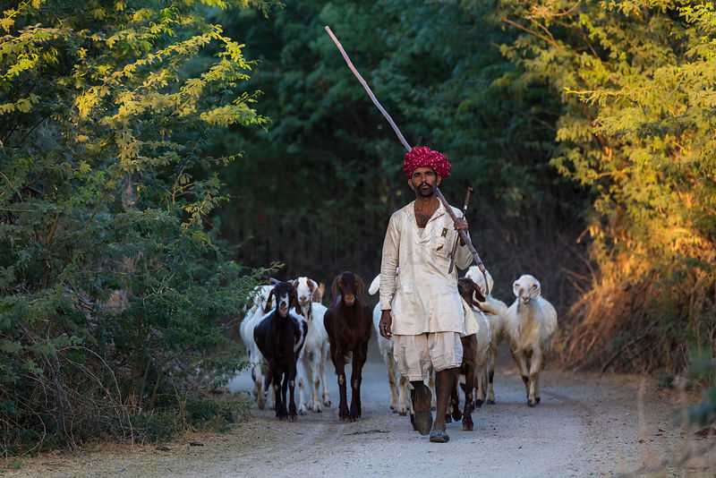 Rabari Shepherd Walking Home with his Goats