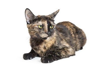 Tortoiseshell Cat With Angry Expression
