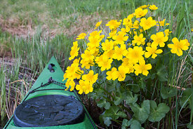 Marsh Marigolds and kayak