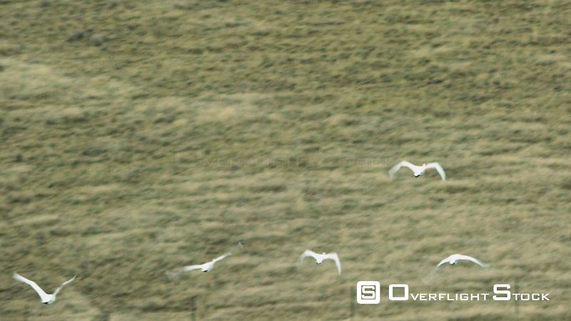A flock of white swans fly above the Madison Valley in southwestern Montana, as it's filled with golden autumn colors