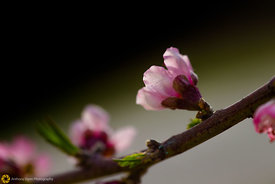 Peach Blossoms # 9