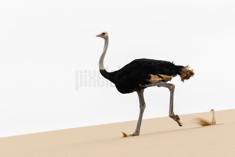 Male Ostrich Running on a Dune near Walvis Bay