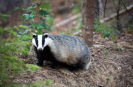 European badger (Meles meles) next it´s sett