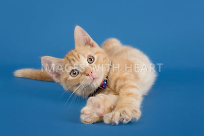 Relaxed kitten stretching on blue background