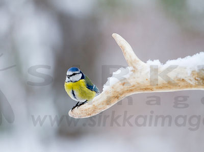 Blue Tit on Wild Forest Reindeer Antler