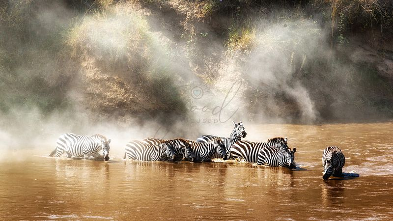 Zebra drinking in the Mara River During Migration