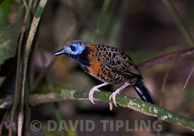 Ocellated Antbird Phaenostictus mcleannani feeding around ant swarm along Pipeline Road Panama