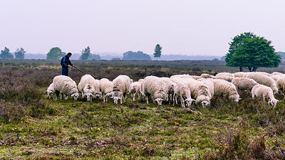 Shepherd with sheep on the Ermelo Heath