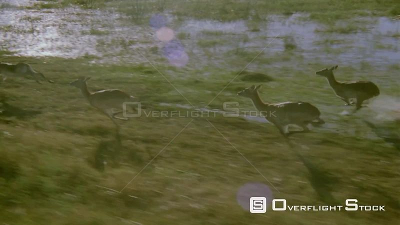 Aerial small group of antelope jumping and splashing water while running through flooded plain Zimbabwe