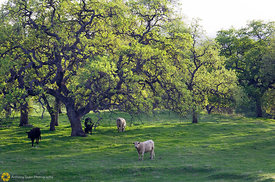 Cattle Grazing Among Oak Trees