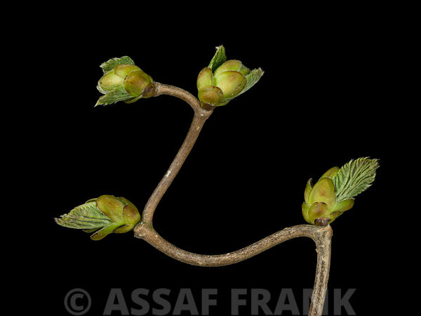 Corylus Contorta photos