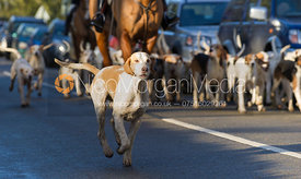 The Quorn Hunt hounds arrive at the meet in Ashby Folville