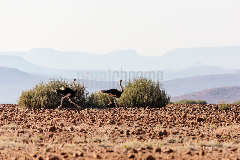 Ostriches Running with the Etendeka Mountains in the Background