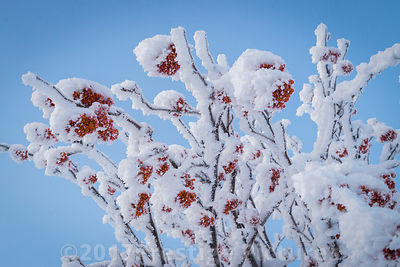 Snow covered Tree with Red Berries