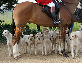 Cottesmore hounds under their huntsman's horse