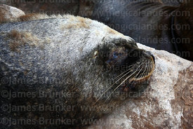 Young male South American sea lion (Otaria flavescens) sleeping