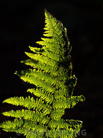 Bracken frond in evening light in autumn Norfolk