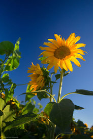 Summer Sunflower #2