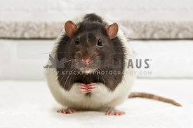 pet rat looking to camera with front paws raised