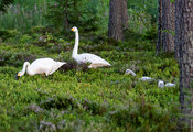 Whooper Swan family eating bilberries