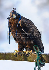 Anna, the Cottesmore's Golden/Steppe Eagle.