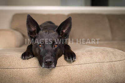 big eared brown dog lying on couch
