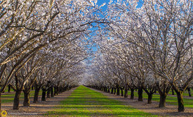 Almond Orchards in Bloom #4