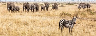 Zebra and Elephants Safari Web Banner