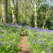 The Bluebell Woods photos