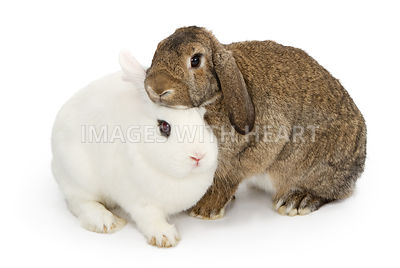 Brown and white rabbits snuggling