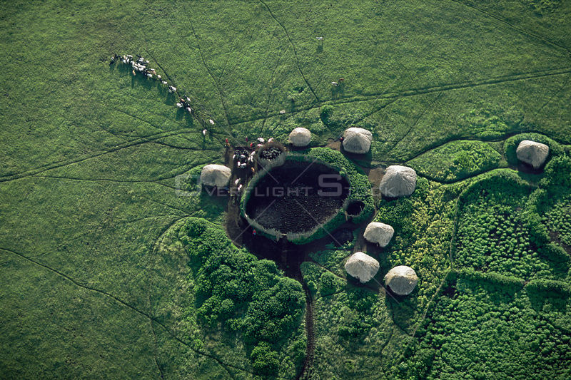 Aerial view of Masai camp with huts around a central coral and cattle being led out to graze, Crater Highlands, Ngorongoro Conservation Area, Tanzania