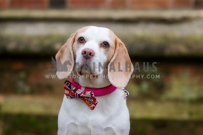 Beagle photos