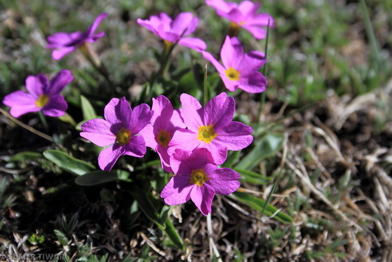 Plants at Alpine tundra may take tens of years to grow just an inch. So next time you are hiking, try to avoid such beautiful plants :)