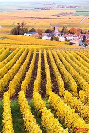 Vineyards in autumn, Oger, Champagne Ardenne, France