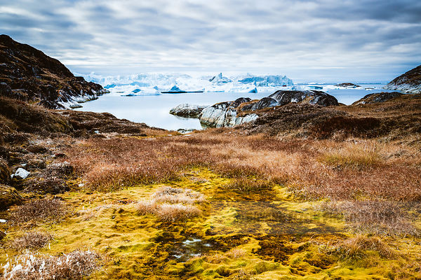 Arctic autumn vegetation in front of blue icebergs in the Unesco World Heritage site of the Ilulissat Icefjord