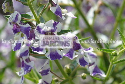 Angelonia 'Angelmist' Purple Stripe