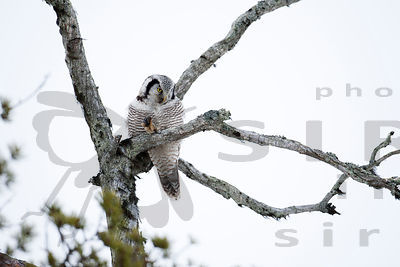 Hawk Owl With Vole